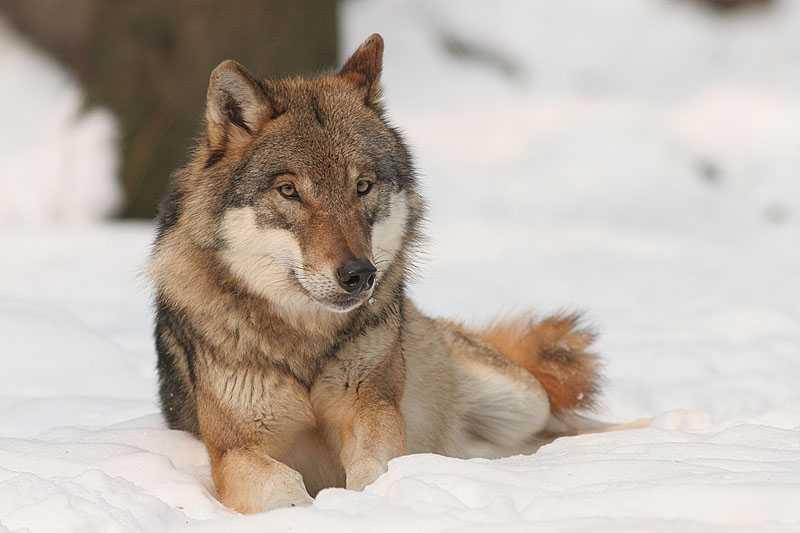 vlk - canis lupus